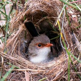 The Superb Fairy Wren chirps over her eggs to teach her chicks how to call for food after they've hatched. This gives them the edge over any nest-mates hatched from eggs deposited in the wren's nest by an interloping Bronze Cuckoo.